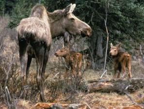 암소, 사슴, 두, 송아지
