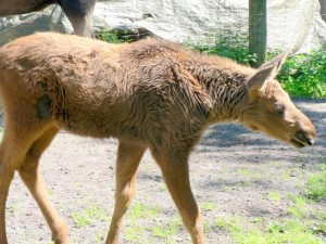 elk, calf, animal