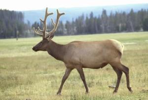 elk, male, antlers