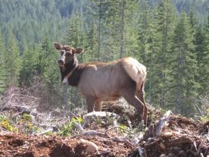 elk, monitoring, collar