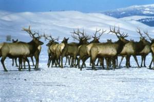 elks, snow