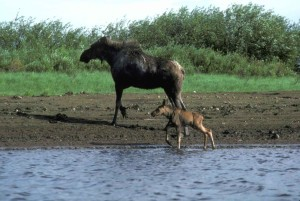female, moose, calf, water