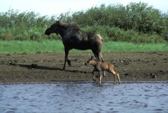 female, moose, calf, water