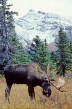 beite, bull moose