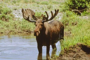 male, moos, stands, water