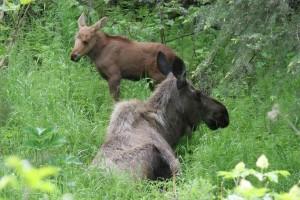 moose, calf