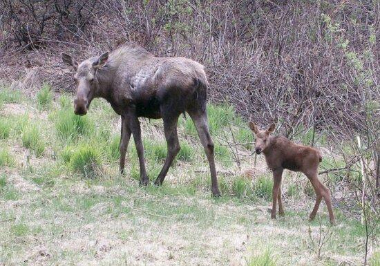 moose, calf, animals, forest
