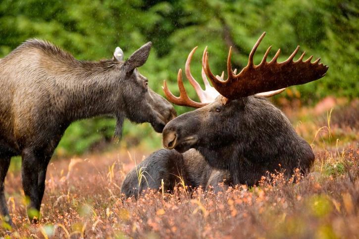moose, animal, pair, bull, cow, moose