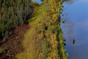 moose, Kanuti, flats