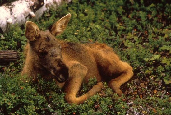 moose, calf, animal, ground
