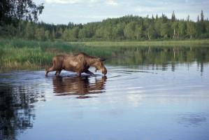 moose, feeding, lake