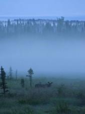 moose, grazes, beautiful, blue, misty, day