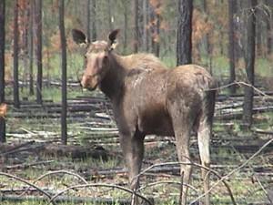 moose, burn, area