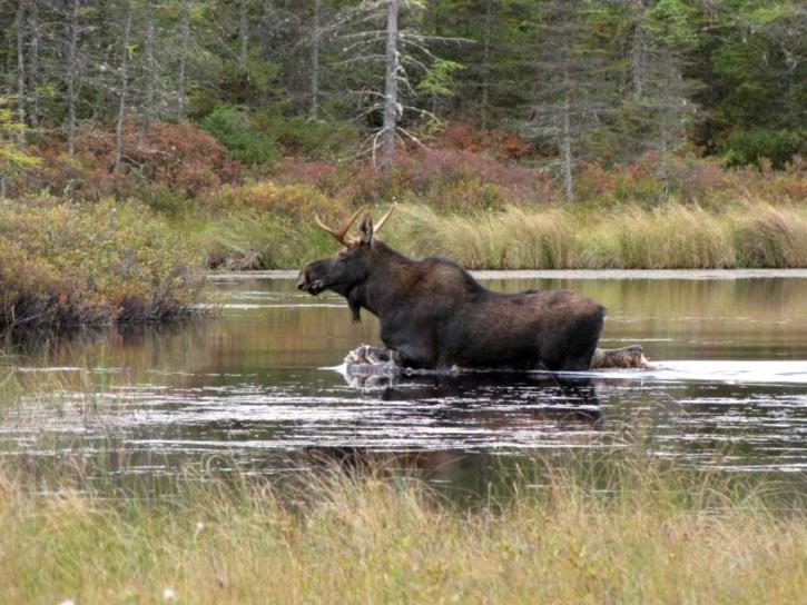 moose, river, animal, alces, Americanus