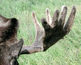 velvet, moose, antlers, clse