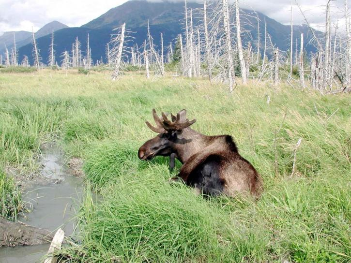 young, bull, moose, alces, alces, lies, grassy, area, water