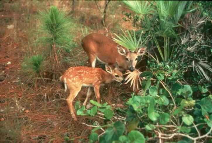mother, young, key, deer, odocoileus, virginian, clavium