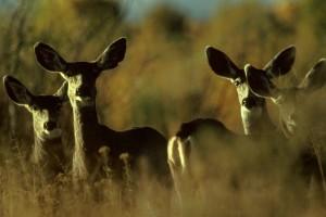 mule, deer, animal, herd