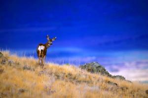 mule, deer, standing, scenic, hillside