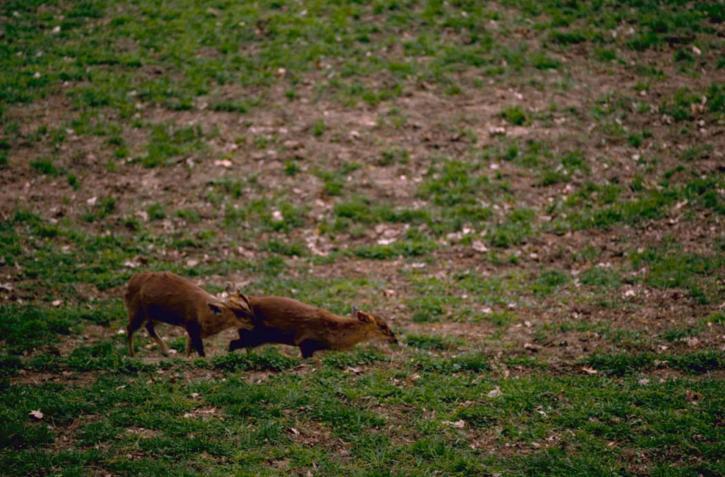 muntjac, barking, mastreani, deer, mammals, muntiacus, reevesi