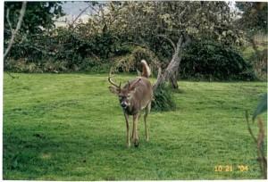 odocoileus, virginianus, leucurus, deer