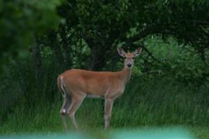 odocoileus, virginianus, leucurus, white tailed, deer, mammal