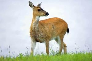 sitka, black, tailed, deer, animal, odocoileus, hemionus, sitkensis