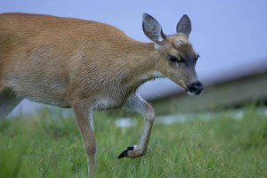 sitka, black, tailed, deer, up-close, animal, odocoileus, hemionus, sitkensis
