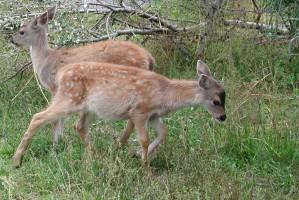 sitka, black, tailed, deer, young, fawns, odocoileus, hemionus, sitkensis