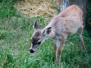 sitka, black, tailed, deer, young, odocoileus, hemionus, sitkensis