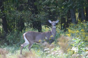 adult, female, white tailed, deer