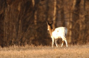 piebald, deer, walking