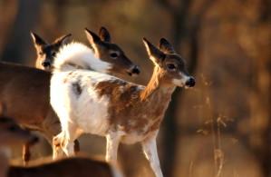 piebald, white tailed, deer, grazes, walking, herd, odocoileus, virginianus