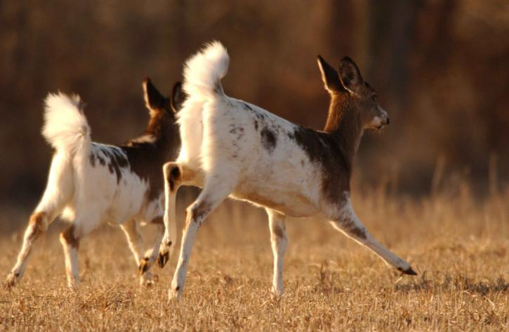 piebald, whitetail, deer, animals, mammals, odocoileus virginianus