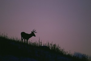 silhouette, white tailed, deer, standing, hillside, stands, purple, sky, dusk