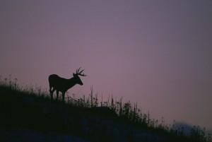 silhouette, dalla coda bianca, cervi, in piedi, collina, sorge, viola, cielo, crepuscolo