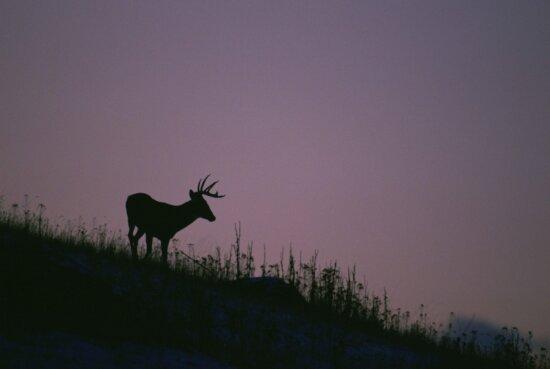 силует, білий хвіст, Олень, стоячи біля підніжжя пагорба, стенди, фіолетовий, небо, сутінки