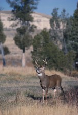 white tailed, buck, summer, grass, odocoileus virginianus
