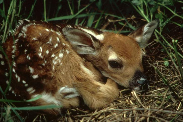 white tailed, deer, fawn, grass, odocoileus, virginianus