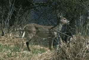 white tailed, deer, female