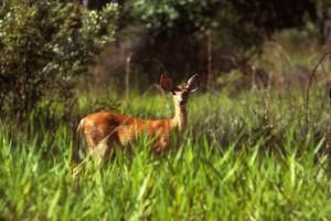 white tailed, deer, female, odocoileus, virginianus, standing, grass