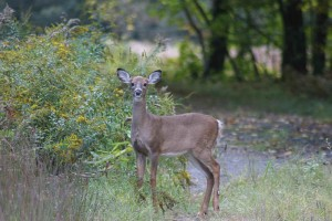 white tailed, deer, yearling