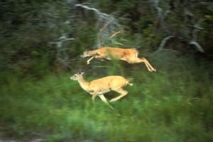 cola blanca, ciervos, correr, odocoileus, virginianus