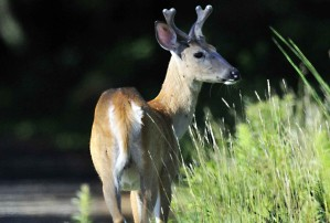 young male, white tailed, deer, odocoileus, virginianus