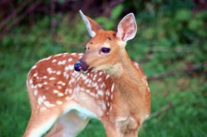 若い、赤、鹿、子鹿、ジューテリウムで子鹿