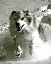 austrailian, hyrde, hund, kører, sne