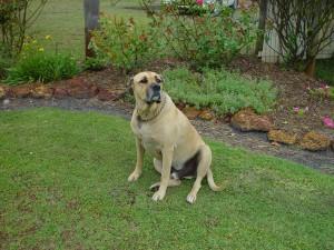 big, dog, backyard