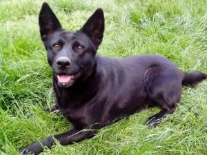 black, German shepherd, dog