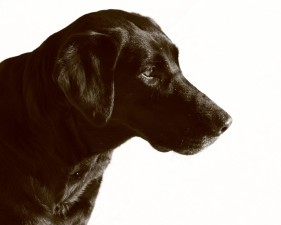 black labrador dog, pet, sephia