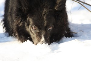 border collie, hund